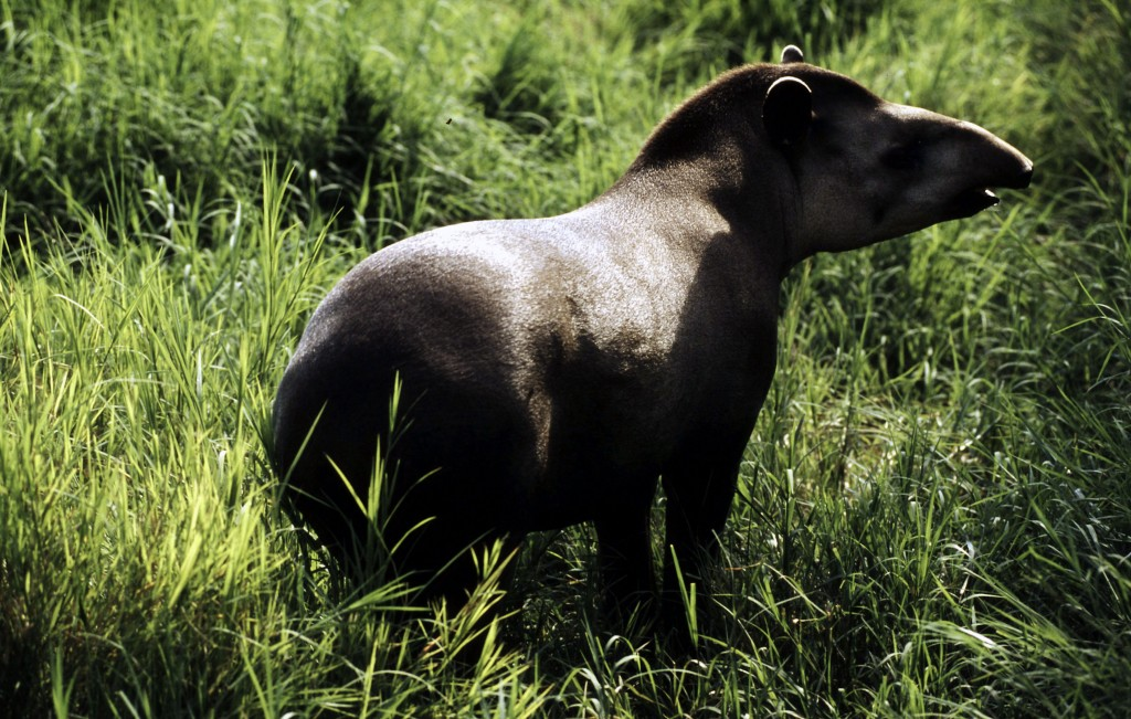 Brazilian tapir. Photo by Michel Gunther/WWF-Canon