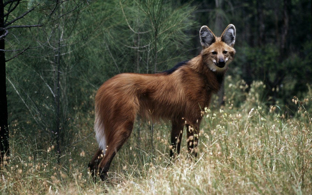 Maned wolf. Photo (c) Martin Harvey/WWF-Canon