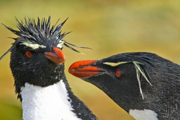 pair of rockhopper penguins have a stare off with their red eyes and bright orange beaks