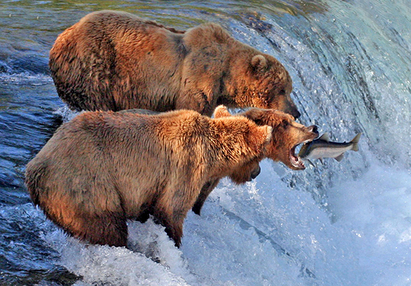 Grizzlies and salmon at Brooks Falls