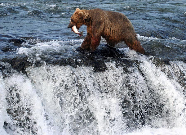 Grizzly bear walking the top of Brooks Falls