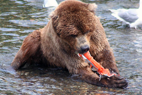 Grizzly bear tearing up a fish
