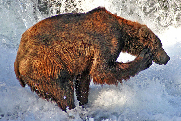 Grizzly bear scratching itself
