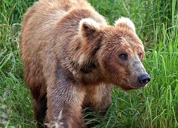 Grizzly bear front in the grass
