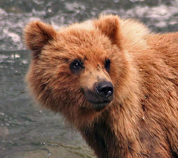 Grizzly bear grin