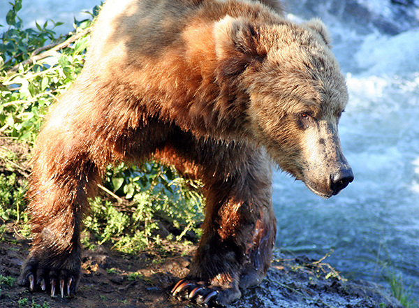 Grizzly bear in sunlight