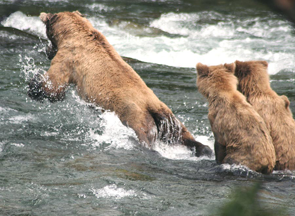 Mom and cubs pouncing