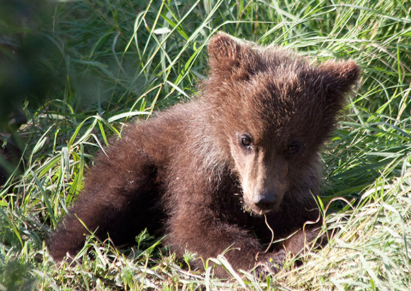 Grizzly bear cub in grass