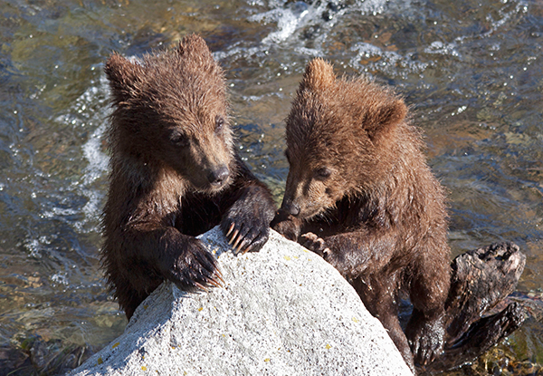 Grizzly cubs by rock