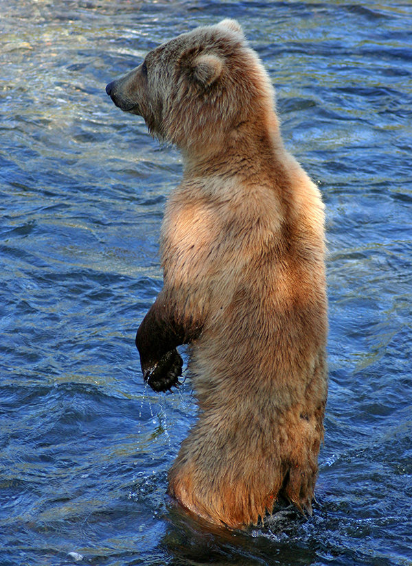 Grizzly cub standing up