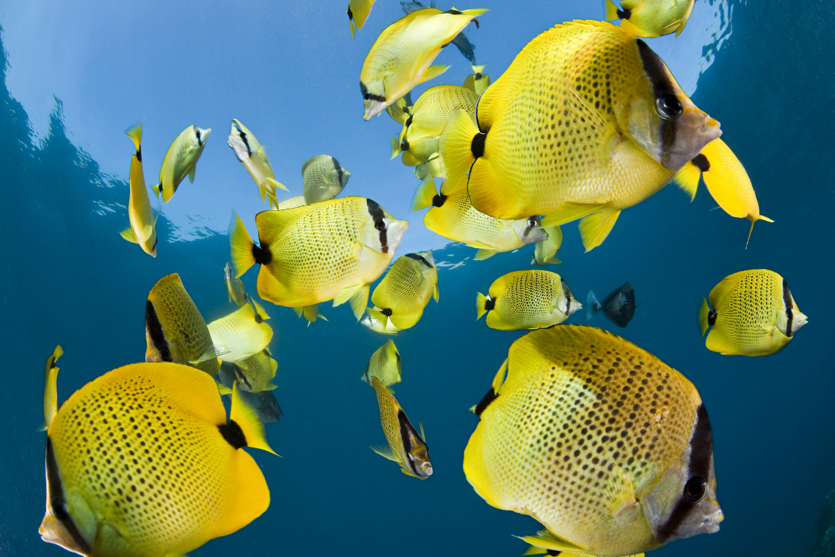 The lemon butterfly fish is one of the most common -- and prettiest -- fish species you're apt to see while snorkeling in Hawaii. © naturepl.com/David Fleetham/WWF-Canon