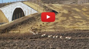 Video: the Pronghorn Path, the First Federally Protected Wildlife Corridor