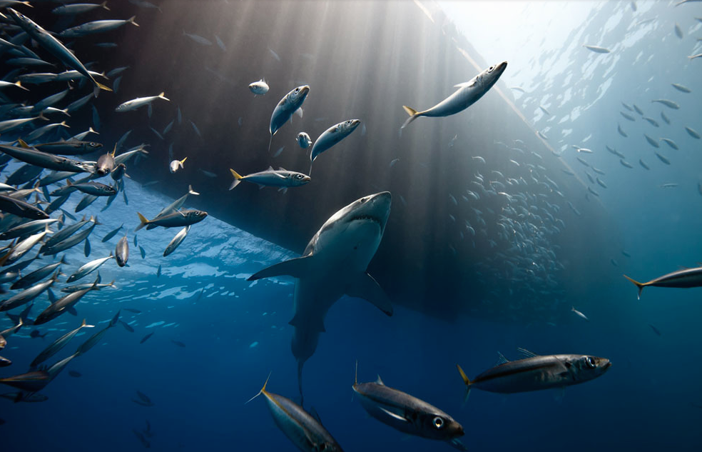 a great white shark searches for prey under the hull of a ship, Guadalupe Island, Mexico