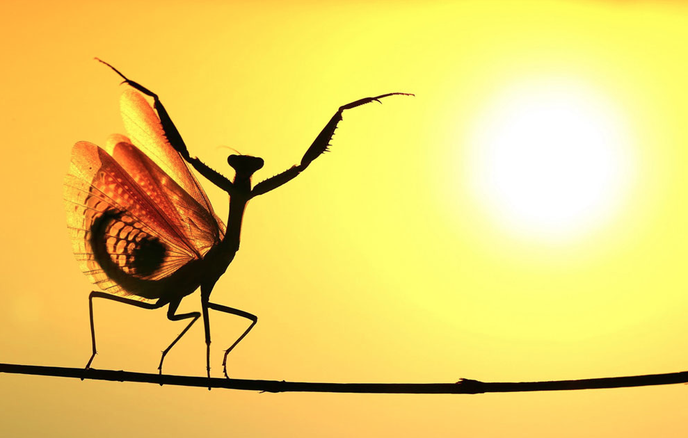 a Mediterranean Mantis stretches to the sky and opens his wings in the glaring sun, Nicosia, Cyprus