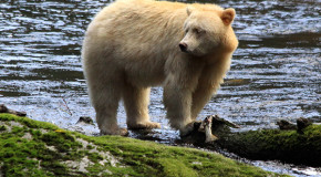 Great Bear Rainforest Rambles and Spirit Bear Sightings