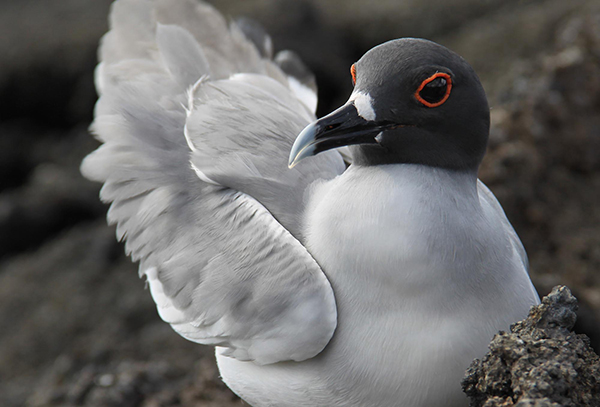 Endemic to the Galápagos Islands, the swallow-tailed gull is the only nocturnal gull in the world. Its night-adapted eyes allow it to feed miles from shore on fish and squid it captures from the surface of the ocean. ©Candice Gaukel Andrews