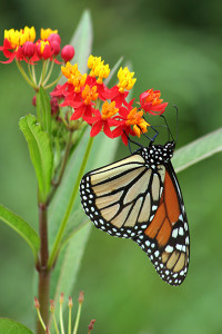 The annual monarch butterfly migration is epic, with travels from Mexico to Manitoba. ©John H. Gaukel