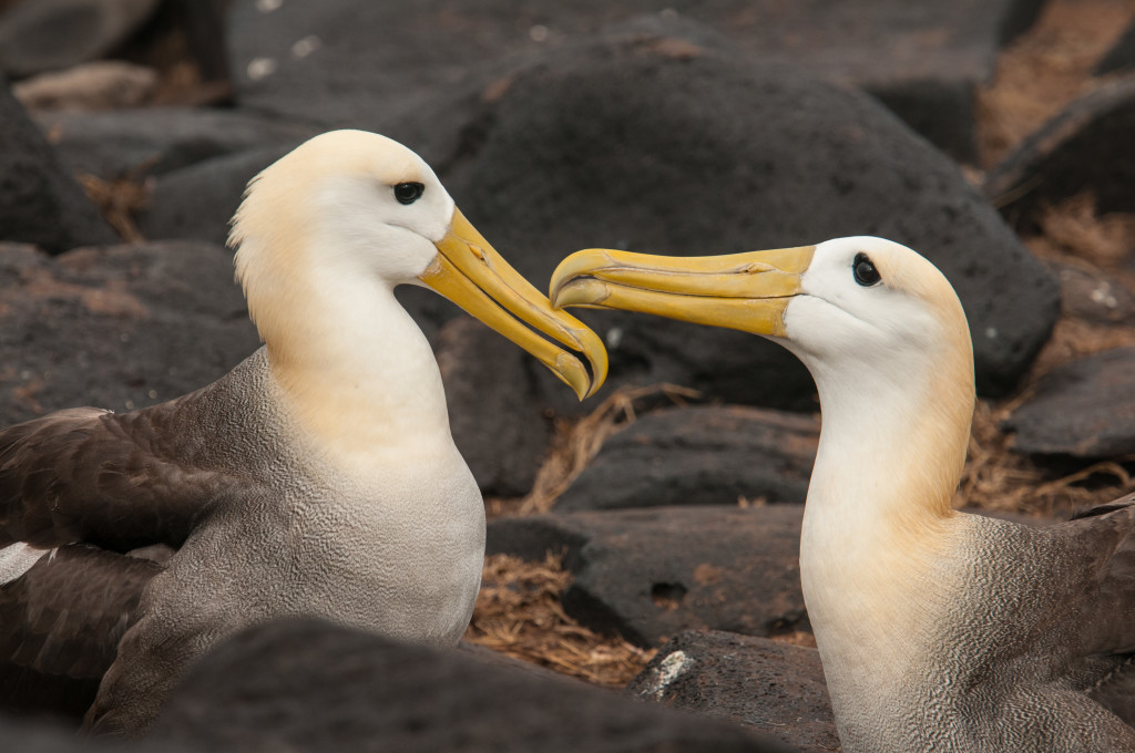 Waved albatross generally forming bonds for life. © WWF-US/Rachel Kramer