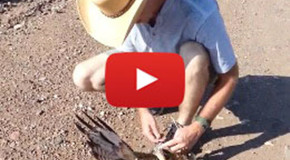 Video: Red-Tailed Hawk and Bull Snake Mix-Up