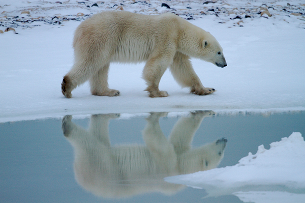 Unfortunately, at the recent CMS conference, the estimated 20,000 to 25,000 remaining polar bears were not given the highest level of protection. ©Henry H. Holdsworth