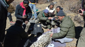 Field guide: Searching for snow leopards