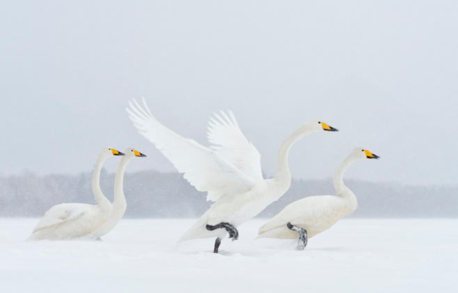 Travel photographer of the year, Marsel van Oosten, swans in the snow