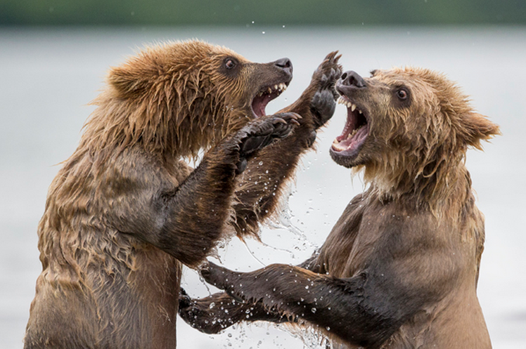 Travel Photographer of the Year, Marco Urso, Grizzlies
