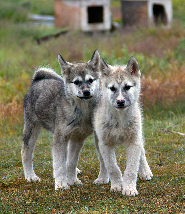 Greenland dogs