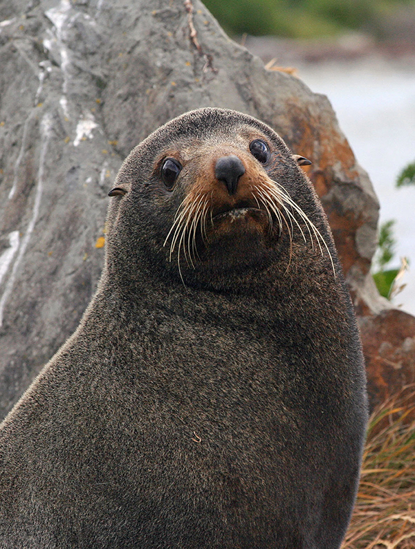 Polynesians and Europeans hunted the New Zealand fur seal for centuries and nearly to extinction by the 19th century. They are now protected by New Zealand's Marine Mammals Protection Act. ©Candice Gaukel Andrews