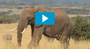Video of the Week: One Minute with Kenya's Extraordinary Elephants