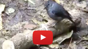 Video: New Zealand Robins Demonstrate Their Counting Ability