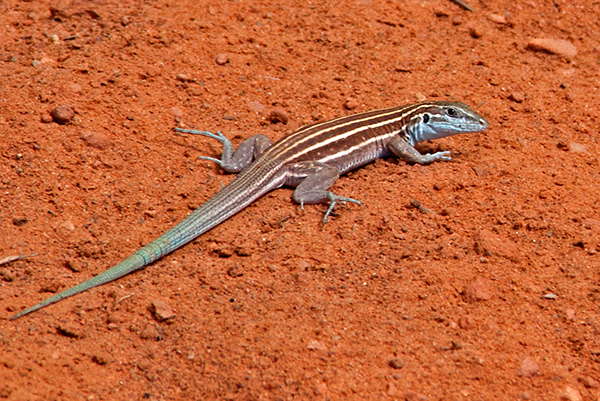 Lizard in the Southwest Canyons