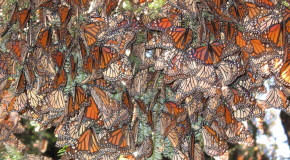 New Hope for Monarch Butterfly Populations