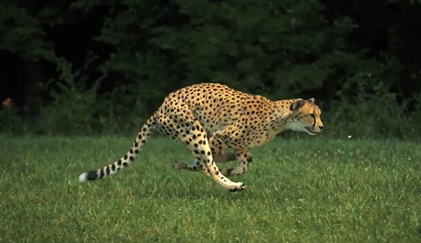 "By bunching and coiling its spine, a cheetah can expand to a great stride length. ©From the video ""Cheetahs on the Edge — Director's Cut"" by National Geographic"