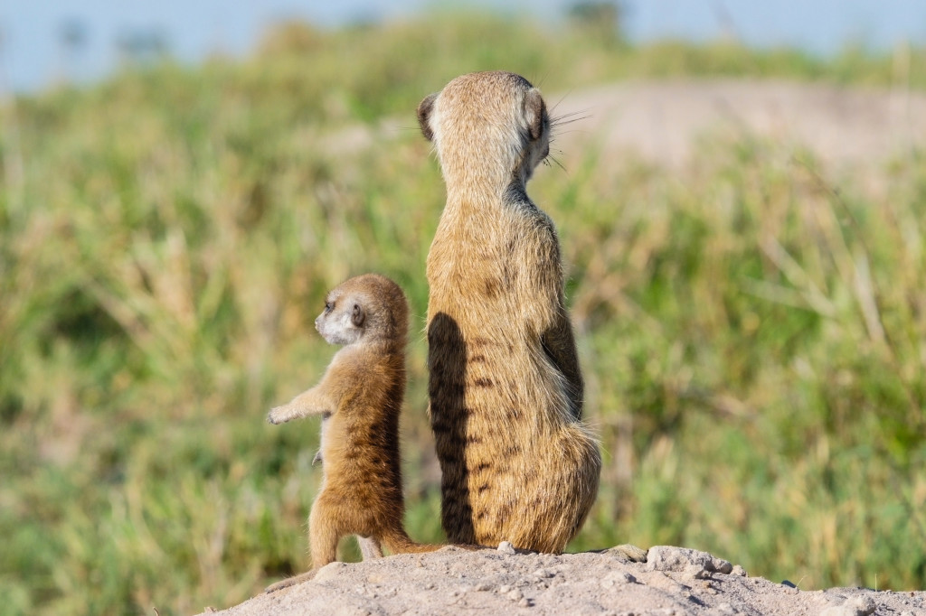A young meerkat pup learns to stand upright, using its tail for balance. © WWF-US/Rachel Kramer