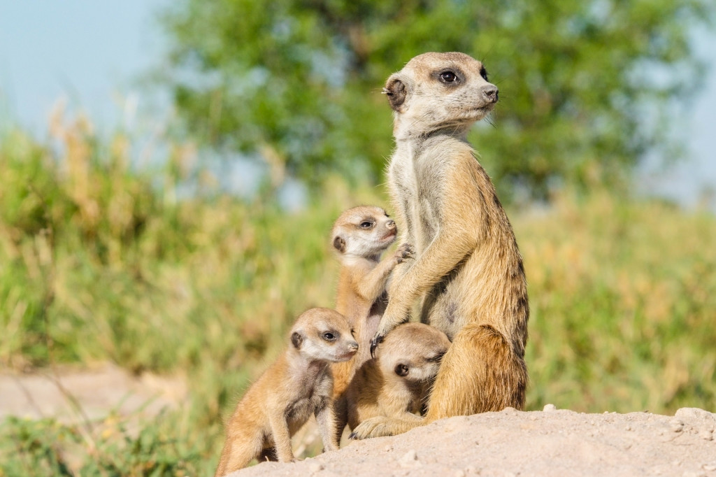 A sentry cares for meerkat pups back at the den, as the rest of the troop goes foraging. © WWF-US/Rachel Kramer