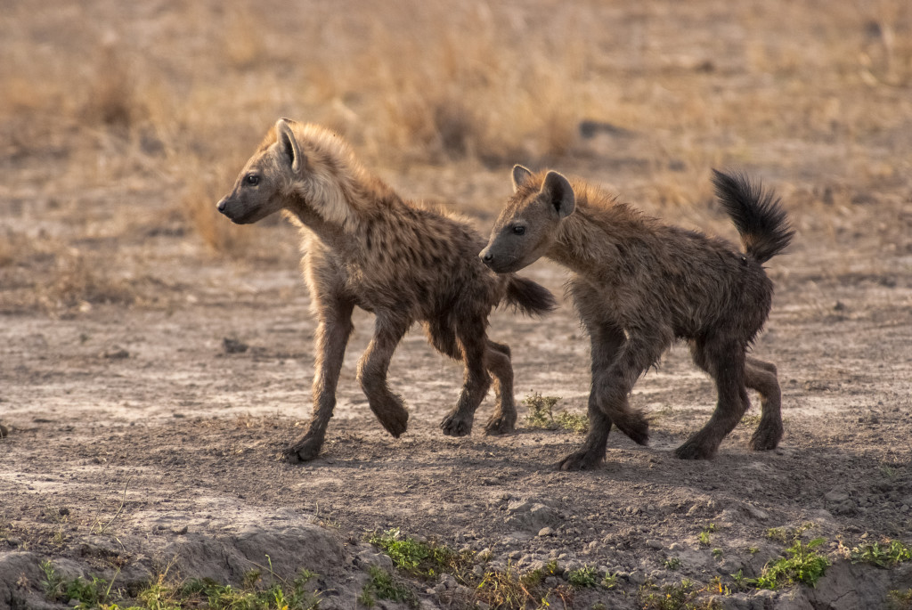 Two juvenile spotted hyenas make their way to a mud hole in the Okavango delta. © WWF-US/Rachel Kramer