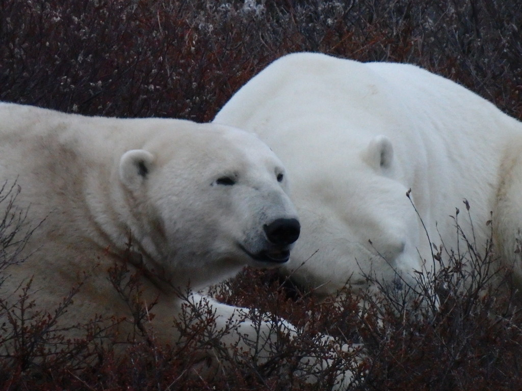 Two bears sleeping – spotted on our evening rover trip. (c) Kit Longnecker