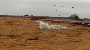 Celebrate International Polar Bear Day with Nat Hab Tales from the Tundra