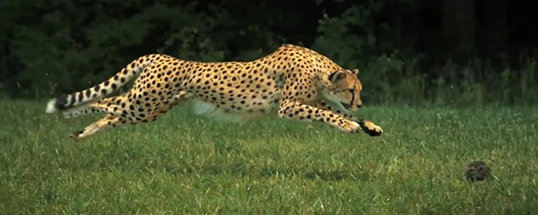 "A cheetah can cover 25 feet in a single bound. ©From the video ""Cheetahs on the Edge — Director's Cut"" by National Geographic"
