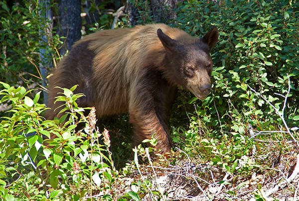 Glacier National Park is home to both black bears and grizzly bears. Contrary to their name, black bears also come in blond, brown and cinnamon, such as this black bear. ©Candice Gaukel Andrews