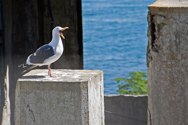 A western gull is a large, dark-backed bird of the Pacific Coast. It is seldom found far from the ocean. ©John T. Andrews