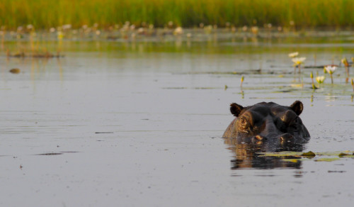 Hippo, King's Pool, Botswana