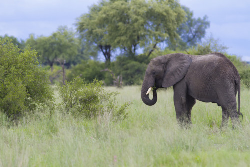 Elephant, Botswana, Green Season