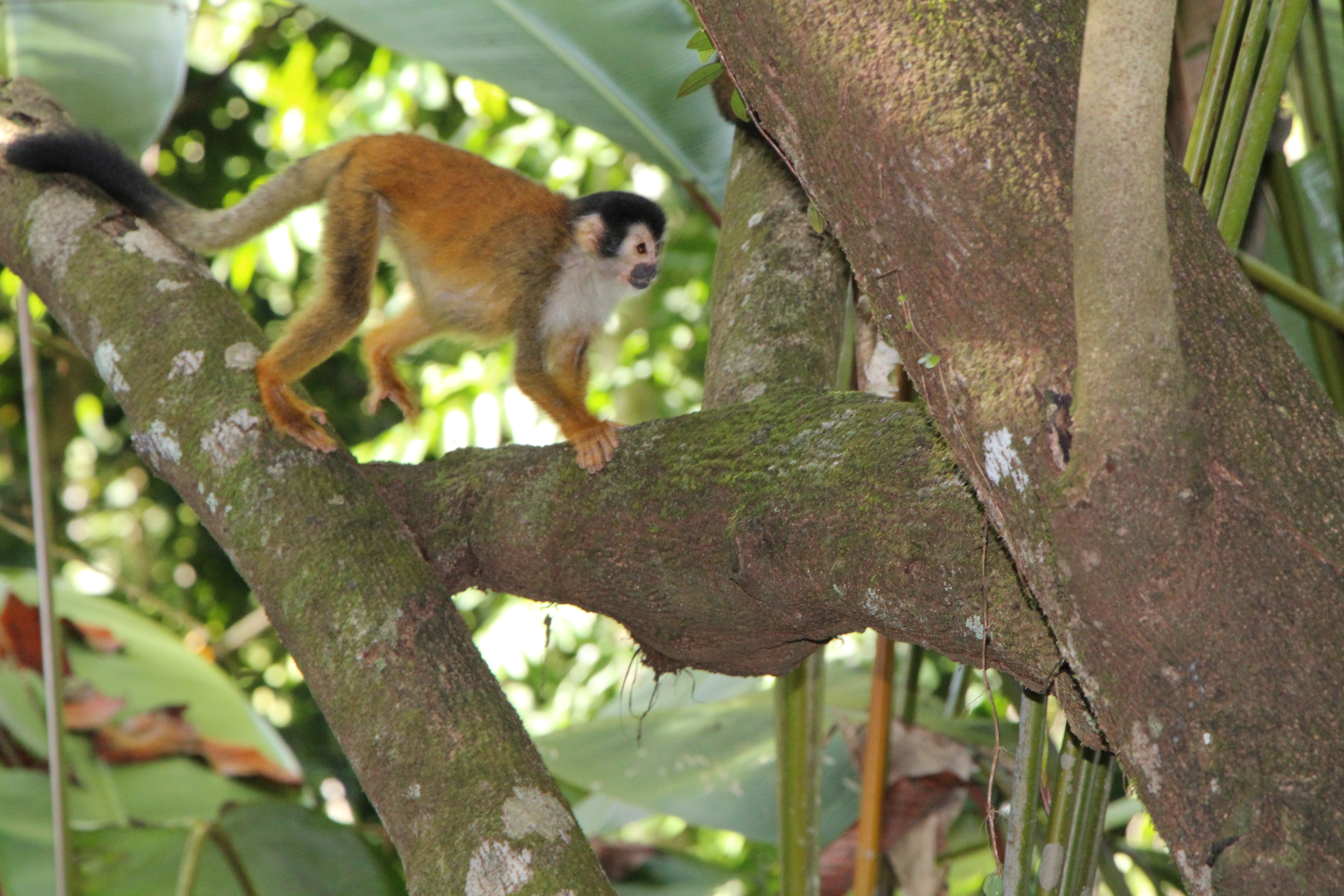 A pregnant black-crowned Central American squirrel monkey spotted by a group of travelers. © WWF-US/Jennafer Bonello
