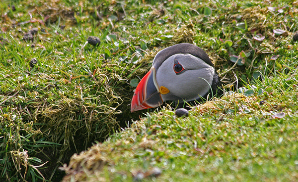 Puffins breed in colonies and nest in burrows, under boulders or in cracks in cliffs, safe from predators. ©Candice Gaukel Andrews