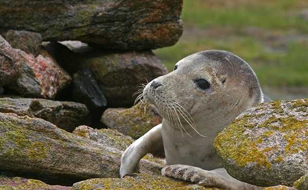 Every year, grey seals congregate to breed and molt in the Orkney Islands, the Shetland Islands, the Hebrides, including North Rona, and the Monach Isles, which has the second largest breeding colony of grey seals in the world. ©Candice Gaukel Andrews