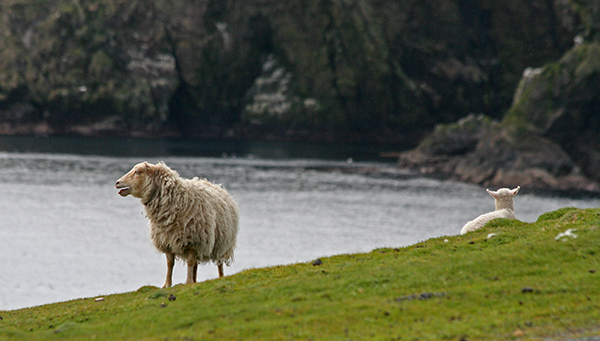 The sheep on Scotland's northern islands are believed to be remnants of the earliest kept in Europe in the Neolithic Era. They are small, short-tailed and usually brown with white bellies and have naturally molting fleeces. ©Candice Gaukel Andrews