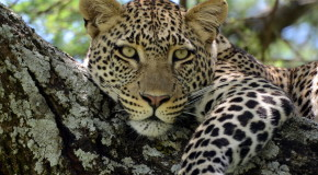 Wildlife Photo of the Week: Leopard in Tanzania