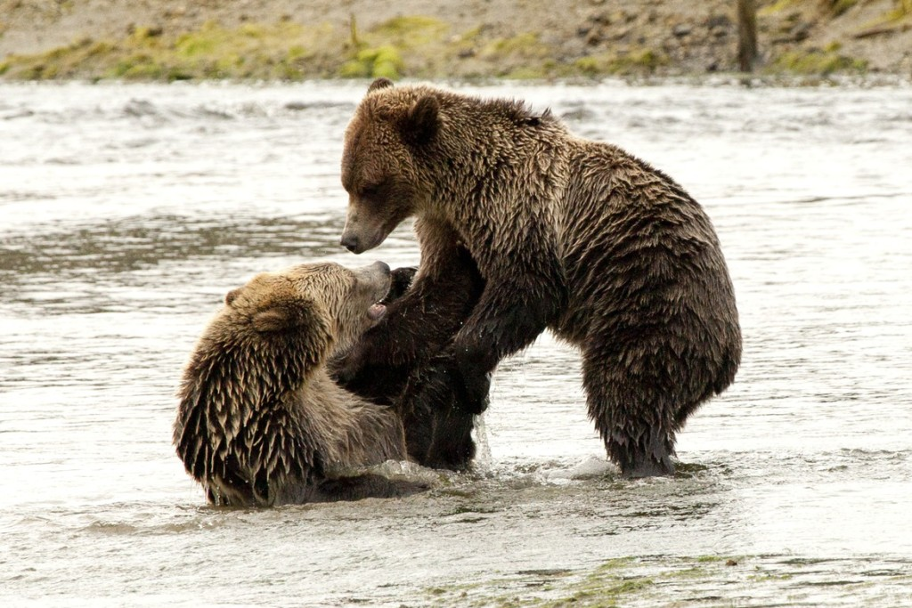 """Grizzly Play"" by Joe Tschanz"